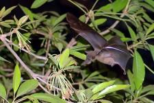 SHORT NOSED FRUIT BAT