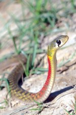 RED NECKED KEELBACK