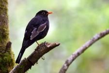 GREY WINGED BLACKBIRD