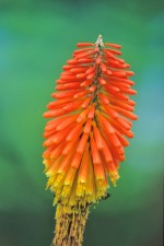 TORCH LILY